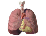 Respiratory System: Anterior View of Trachea and Lungs