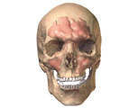 Respiratory System: Anterior View of Skull with Sinuses