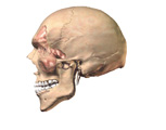 Respiratory System: Lateral View of Skull with Sinuses