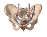 Female Reproductive System: Anterior View