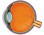 Eye: Cross Section