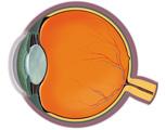 Eye: Cross Section