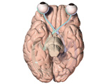 Inferior view of Brain and Eyes