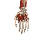 The Hand and Wrist: Deep Palmar View