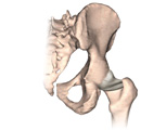 Posterior View of Hip Bone and Ligaments