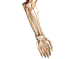 The Upper Limb: The Forearm & Hand - Anterior View of the Left Forearm and Hand