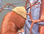 How do the adrenal glands respond to stress?