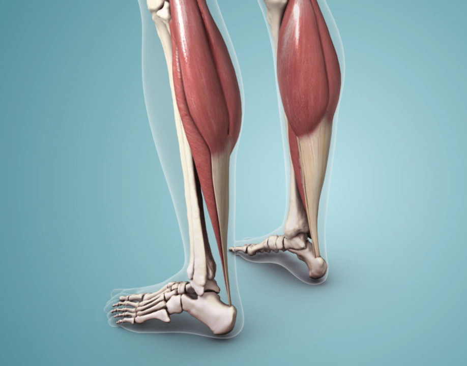 Achilles Tendon: Anatomy and Function