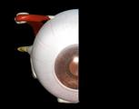 Sagittal Eye