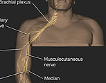Upper Extremity with labels