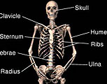 Skeleton with labels