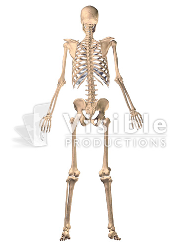 Skeletal System: The Full Skeleton, Posterior View