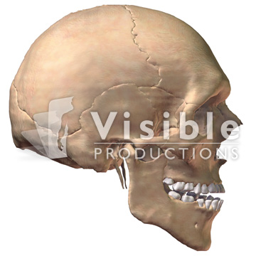 Skeletal System: The Skull, Lateral View