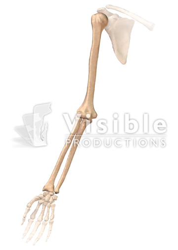 Skeletal System: Anterior View of the Right Arm