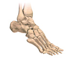 Skeletal System: The Foot, Lateral View