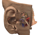 Nervous System: The Ear, Oblique View