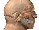Respirartory System: Mouth, Nose, & Throat: Lateral View