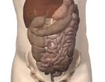 Digestive System: Anterior View of the Abdomen