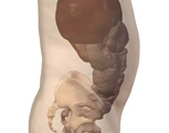 Digestive System: Lateral View of Digestive Organs of the Abdomen