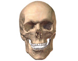 Digestive System: Anterior View of Skull