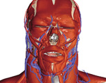 The Head & Neck: Head Showing Superficial Muscles and Blood Vessels, Anterior View