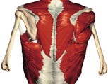 The Thorax: The Thorax with Superficial Muscles, Posterior View
