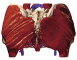 The Pelvis: Female Pelvis, Posterior View
