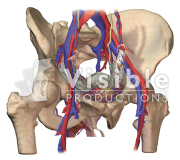 The Pelvis: Female Pelvis with the Skin and Muscles Removed, Anterolateral View