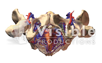 The Pelvis: Female Pelvis with the Skin and Muscles Removed, Inferior View
