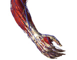 The Upper Limb: The Forearm & Hand - Posterolateral View of the Right Forearm and Hand Showing the M