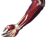 The Upper Limb: The Forearm & Hand - Posterior View of the Right Hand Showing the Bones and Arteries