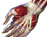 The Upper Limb: The Hand - Palmar View Showing Muscles, Arteries, and Veins