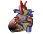 The Heart: Posterior View of the Heart