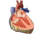 The Heart: Coronal Section