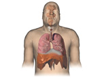 Respiratory System: Male Body, Anterior View