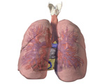 Respiratory System: Posterior View of Lungs
