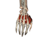 The Hand and Wrist: Deep Dorsal View