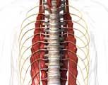 fThoracic Spine