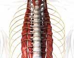 mThoracic Spine