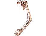 Cardio-Vascular System - Left Arm